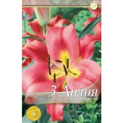 Lilium oriental Satisfaction - 3 bulbi/pachet