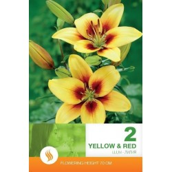 Lilium asiatic Yellow-Red - 2 bulbi