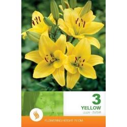 Lilium asiatic Yellow - 3 bulbi