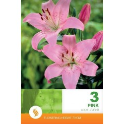 Lilium asiatic Pink - 3 bulbi