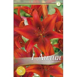Lilium asiatic Red County - 1 bulb