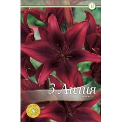 Lilium asiatic Black Out - 3 bulbi