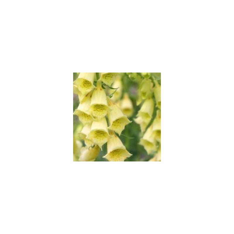 Digitalis grandiflora Dwarf Carillion G-9