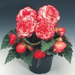 Begonia tuberhybrida Nonstop Rose Petticoat G-9