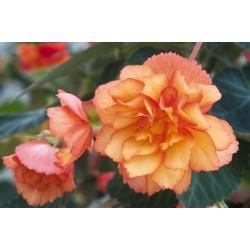 Begonia tuberhybrida Illumination F1 Apricot Shades G-9