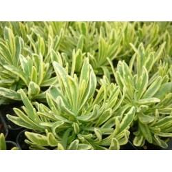 Lavandula angustifolia Platinum Blonde G-9