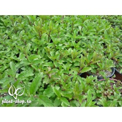 Mentha piperita Swiss Mint G-9