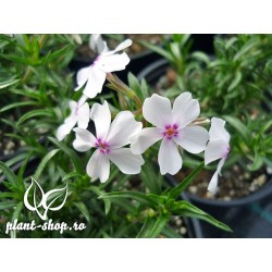 Phlox subulata Amazing Grace G-9