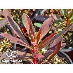 Euphorbia amygdaloides Purpurea G-9