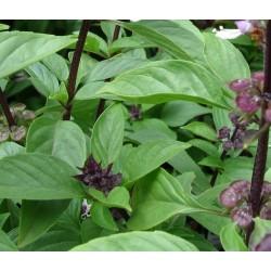 Ocimum basilicum Thai Siam Queen G-9