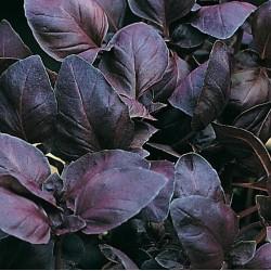 Ocimum basilicum Chianti G-9