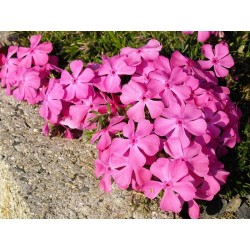 Phlox subulata McDaniel's Cushion