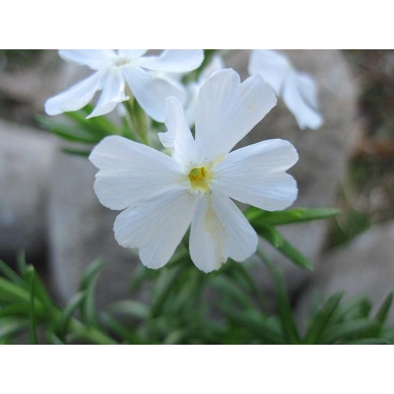 Phlox subulata White Delight
