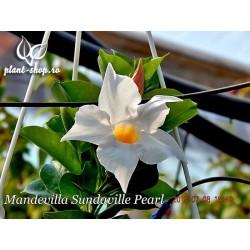 Mandevilla Sundaville Pearl