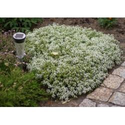 Thymus praecox Albiflorus G-9