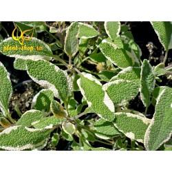 Salvia officinalis Bicolor G-9