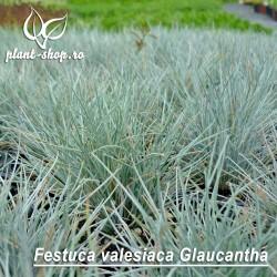 Festuca valesiaca Glaucantha