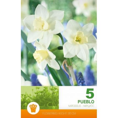 Narcissus botanical Pueblo