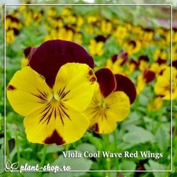 Viola wittrockiana Cool Wave Red Wing