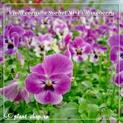 Viola cornuta Sorbet XP F1 Raspberry