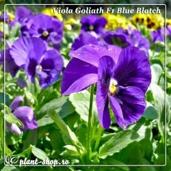 Viola wittrockiana Goliath F1 Blue Blotch
