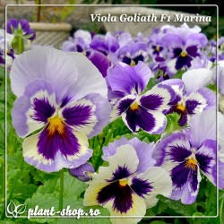 Viola wittrockiana Goliath F1 Marina
