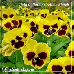 Viola wittrockiana Goliath F1 Yellow Blotch