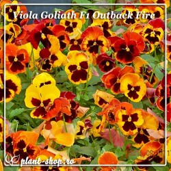 Viola wittrockiana Goliath F1 Outback Fire