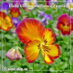 Viola witrockiana Ultima Radiance F1 mix