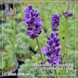Lavandula angustifolia Thumbelina Leigh