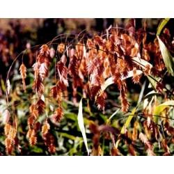 Chasmanthium latifolium G-9