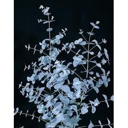 "Eucalyptus gunnii ""Silver Tropfen"""