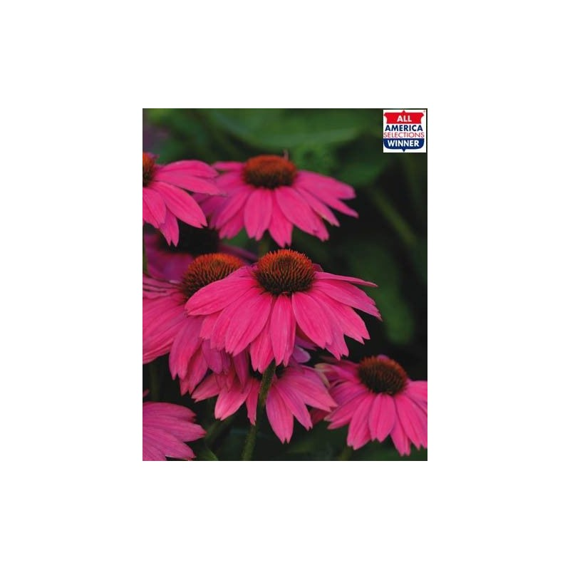 "Echinaceea purpurea ""PowWow Wild Berry"""
