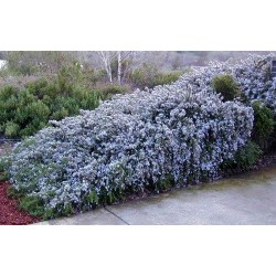 Rosmarinus officinalis Blue Rain G-9