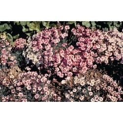 Dianthus hybrida Allwoodii Alpinus