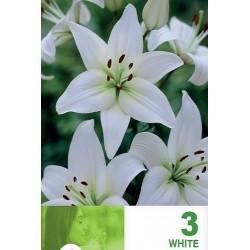 Lilium asiatic White - 3 bulbi