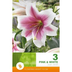 Lilium asiatic Pink-White - 3 bulbi