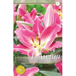 Lilium oriental Entertainer - 1 bulb