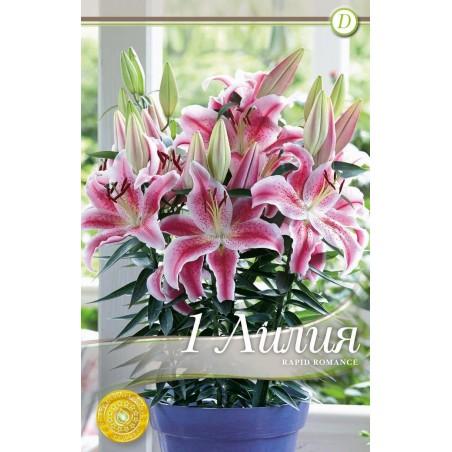 Lilium oriental Rapid Romance - 1 bulb