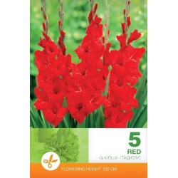 Gladiole bulbi Red