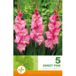 Gladiole Sweet Pink