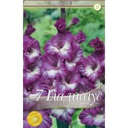 Gladiole Anouk