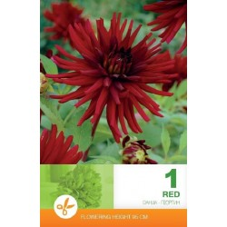 Dahlia cactus bulbi Red