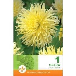 Dahlia cactus Yellow