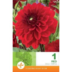 Dalia decorativa Red