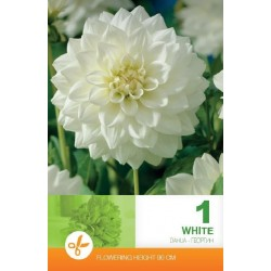 Dalia decorativa White