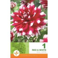 Dalia decorativa Red & White