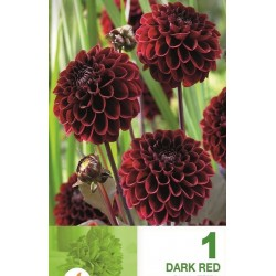 Dalia pompon Dark Red