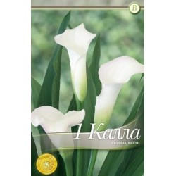 Cala - Zantedeschia Crystal Blush