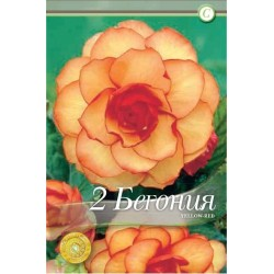 Begonia bulbi Picotee Yellow Red